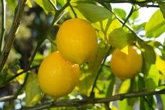 Cytryny na drzewie Zdjęcia Royalty Free