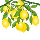 Cytryny na drzewie ilustracji