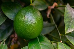 Cytryny r na gałąź w uprawiają ogródek zamknięty up Zamyka w górę zielonego koloru cytryny cytrusa organicznie owoc na drzewie zdjęcia royalty free