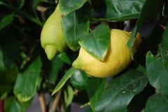 cytryny sicilian drzewo obraz royalty free