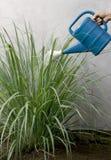 Cytryny trawy roślina. zdjęcia royalty free