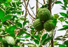Cytryny wapna drzewo z owoc Zdjęcia Royalty Free