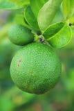 Cytryny zieleń zdjęcie royalty free
