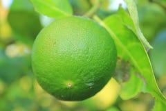 Cytryny zieleń Obraz Stock