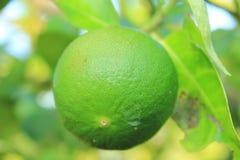 Cytryny zieleń Zdjęcie Stock