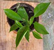 cytryny zielony drzewo zdjęcie stock