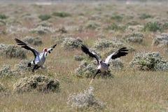 Cyzelatorstwo sekretarki ptaki obrazy royalty free