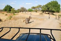 Cyzelatorstwo zebry, Tarangire park narodowy, Tanzania obrazy stock