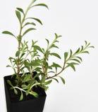 Cząber roślina Opuszcza Świeży Obrazy Stock