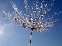 Część dandelion ziarno z wodnymi kropelkami przeciw niebieskiemu niebu zdjęcia stock