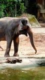 Część duży słoń obrazy stock
