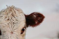 Część krowy głowa, zwierzęca twarz patrzeje w kamerę zdjęcia royalty free