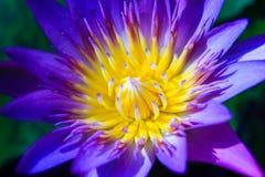 Część purpurowa Lotus woda Lilly Obrazy Stock