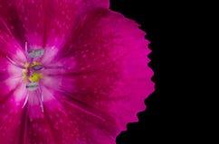 Część Purpurowy Diathus kwiat Odizolowywający na czerni zdjęcie royalty free
