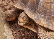 Część skorupa afrykanin i głowa Pobudzaliśmy Tortoise Fotografia Royalty Free