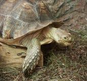 Część skorupa afrykanin i głowa Pobudzaliśmy Tortoise Obraz Royalty Free