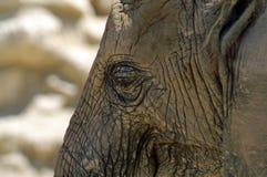 Część twarz Afrykański słoń Zdjęcia Stock