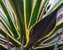 Części ogromna agawa Zdjęcia Royalty Free