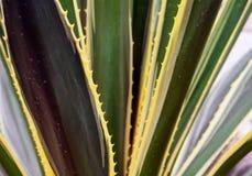 Części ogromna agawa Zdjęcie Royalty Free