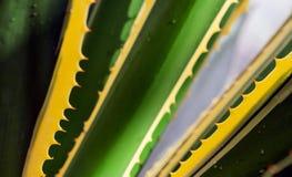 Części ogromna agawa Zdjęcie Stock