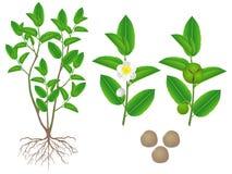 Części zielonej herbaty sinensis kameliowa roślina na białym tle royalty ilustracja