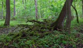Częsciowo wiatrowy spadek nad świerkowym drzewem w lecie zdjęcie royalty free