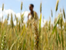 człowiek pszenicy Zdjęcie Stock