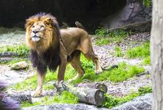 Czajenie lew w poszukiwaniu zdobycza Obraz Stock