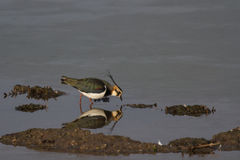 Czajka & x28; Vanellus vanellus& x29; odbicie w wodzie Zdjęcie Stock