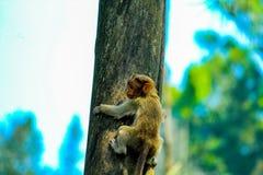 Czapeczka makak obraz royalty free