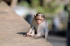 czapeczka makak fotografia royalty free