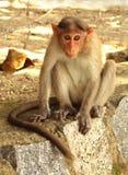 Czapeczka makak obraz stock