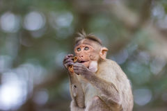 Czapeczka makak fotografia stock