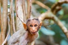Czapeczka makak zdjęcia stock