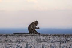 Czapeczka makak, India zdjęcia stock