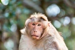 Czapeczka makak mischieviously ogląda fotografia stock