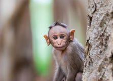 Czapeczka makak mischieviously ogląda obrazy stock