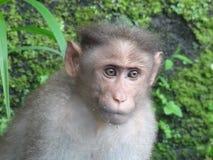 Czapeczka makak monky w akci obrazy royalty free