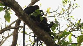 Czapeczka makak w drzewie w Kerala India zbiory