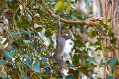 Czapeczka makaka chlanie w drzewie w Bangalore India obrazy royalty free
