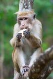 Czapeczka makaka małp jeść obrazy royalty free