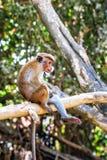 Czapeczka makaka małpa na drzewnym Macaca radiata, tropikalni lasy fotografia stock