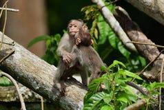 Czapeczka makaka małpa Zdjęcia Royalty Free