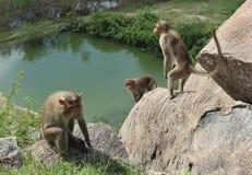 Czapeczka makaki na skałach obraz royalty free