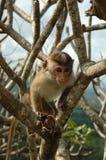 czapeczki macaca makaka małpy radiata zdjęcie royalty free