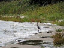 Czapla na Curonian zatoki wybrzeżu Fotografia Stock