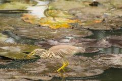 Czapla w wodzie Fotografia Stock