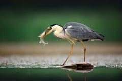 Czapla z ryba Popielata czapla, Ardea cinerea, zamazana trawa w tle Czapla w lasowym jeziorze Zwierzę w natury siedlisku, h Zdjęcie Royalty Free