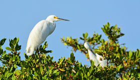 Czaple i Egrets w drzewie Obrazy Stock