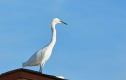 Czapli Egret ptak Przegapia plażę Obrazy Royalty Free